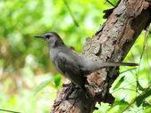 Gray Catbird (Dumetella carolinensis) — Stock Photo