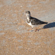 Ruddy Turnstone (Arenaria interpres) walking on the beach. — Stock Photo #49127691