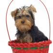 Portrait of sitting in basket puppy of yorkshire terrier — Stock fotografie