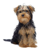 Portrait of laying puppy of yorkshire terrier — Stock Photo