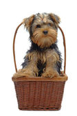 Portrait of standing in basket puppy of yorkshire terrier — Stock Photo