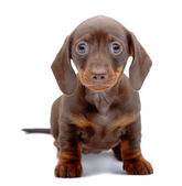 Portrait of puppy of Dachshund — Stock Photo