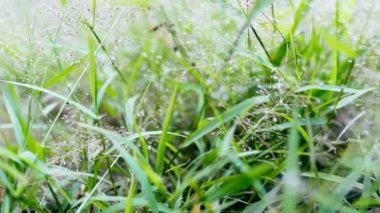 Dew drops on green grass, dolly — Stock Video