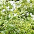 Trimming the boxwood — Stock Video