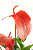Flamingo flower — Stock Photo