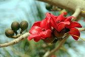 Blossoms of the Red Silk Cotton Tree (bombax, ceiba) — Stock Photo