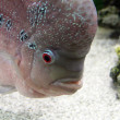 Aquarium Redhead cichlid — Stock Photo