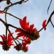 Royalty-Free Stock Photo: Coral tree flower