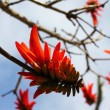 Coral tree flower — Stock Photo