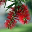 Stock Photo: Bottlebrush Tree Flower