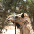 Portrait of a camel - Stock Photo