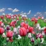Spring tulip flowers — Stock Photo #27389535