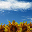 Stock Photo: Sunflowers on blue sky background