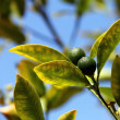 Growing oranges on tree. Selective focus. — Stock Photo #32618597