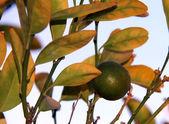 Growing orange fruit on the tree. Selective focus. — Stock Photo