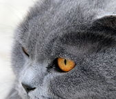 Portrait of a gray wide-eyed cat — Stock Photo