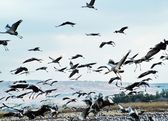 Common Cranes at Hula Valley — Stockfoto