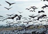 Common Cranes at Hula Valley — Stock Photo