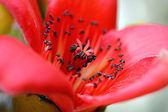 Blossoms of the Red Silk Cotton Tree — Stock Photo