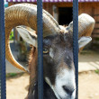 Ram sitting in the cages in the zoo — Stock Photo #12572501