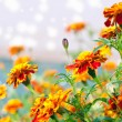 Flowers tagetes - Stock Photo