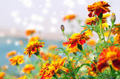 Flowers tagetes — Stock Photo