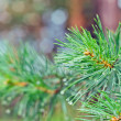Branch of the pine tree with raindrops — Stock Photo