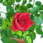 A red rose, flower room — Stock Photo
