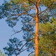 Looking up in pine tree forest — Stock Photo #24846921