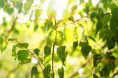 Birch leaves in the sun, morning at dawn — Stock Photo