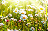 Chamomile, chamomile field at dawn — Stock Photo