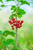 Red currant, berries — Stock Photo