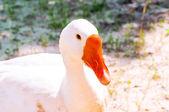 Mooie witte ganzen close-up, op zoek naar de camera. — Stockfoto