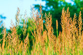 Ears of wheat grass on the beautiful blurred background. — Stock Photo