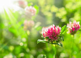 Field clover under sun beams, design — Stock Photo