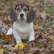 Beagle Basset Puppy in Leaves — Stock Photo #14811877