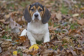 Beagle Basset Puppy in Leaves — Stock Photo