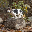 Beagle Basset Puppy Standing on Log — Stock Photo #19202489