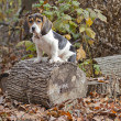 Beagle Basset Puppy Sitting on Log - Stock Photo