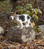 Beagle Basset Puppy Standing on Log — Stock Photo