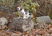 Beagle Basset Puppy Sitting on Log — Stock Photo