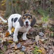 Beagle Basset Puppy Standing in Leaves — Stock Photo #19397867