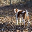 Bert the brown and white Brittany Spaniel - Stock Photo