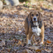 Hunting Beagle Standing in Leaves — Stock Photo #19398189