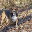 Hunting Beagle — Stock Photo #19398253