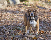 Hunting Beagle Standing in Leaves — Stock Photo