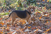 Hunting Beagle Standing Broadside — Stock Photo