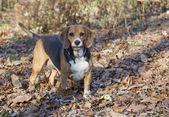 Hunting Beagle — Stock Photo
