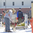 Husky at Dog Pulling Sled Competition — Stock Photo #24883497