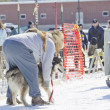 Husky getting ready at Dog Pulling Sled Competition — Stock Photo #24883503